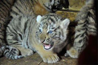 Amur tiger cubs were born in Feldman Ecopark in Kharkiv