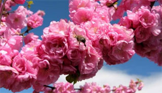 Sakura Fest | On 15th-30th of April 2016 in Uzhgorod | Program
