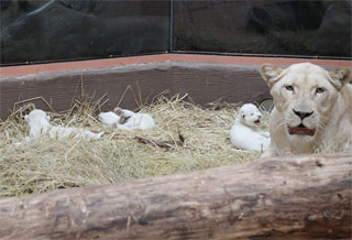 In Demidov Zoo 12 Months was born three white lions